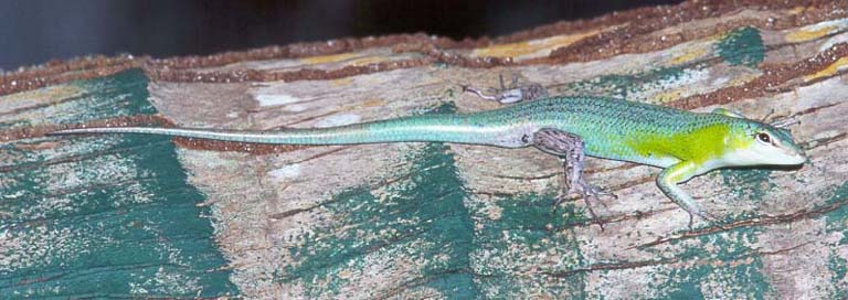 Solomon's green tree skink