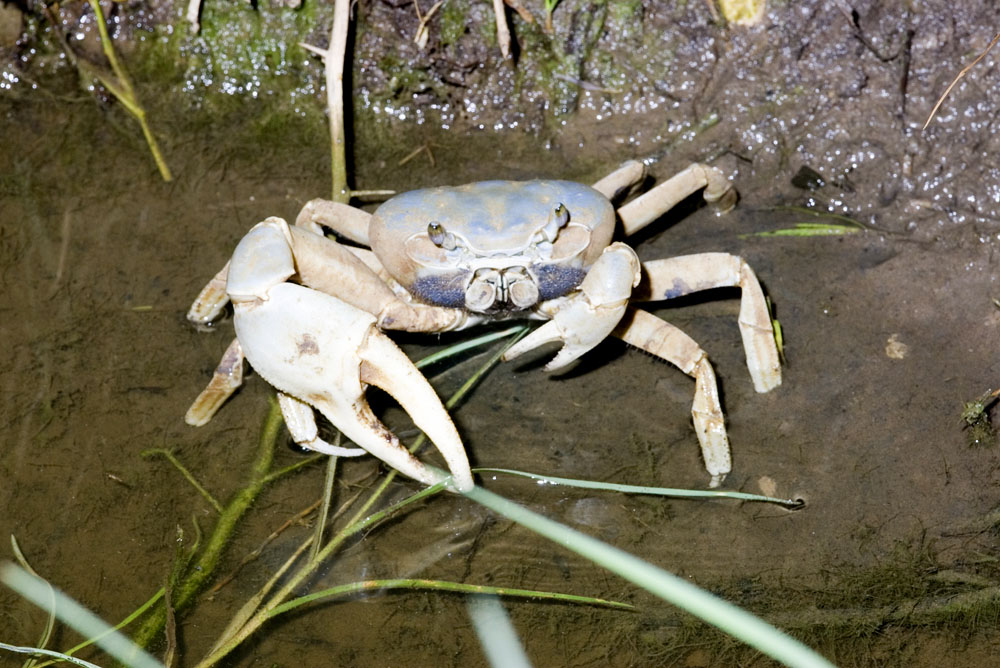 land crab Belize city