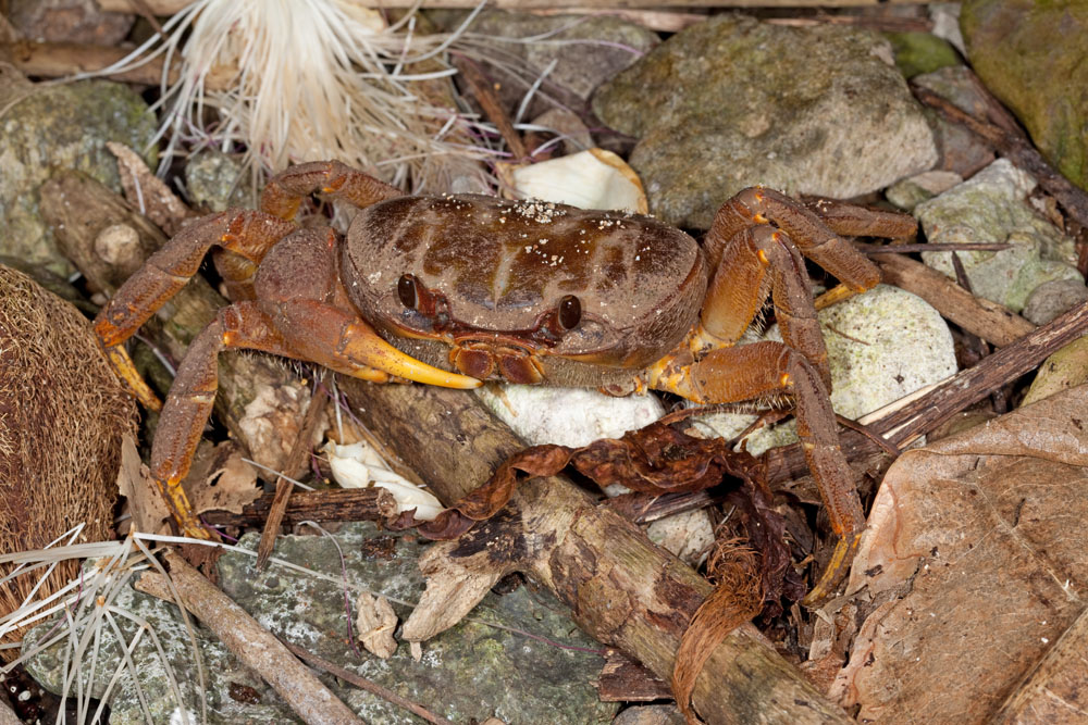 Unidentified land crab from Taveuni