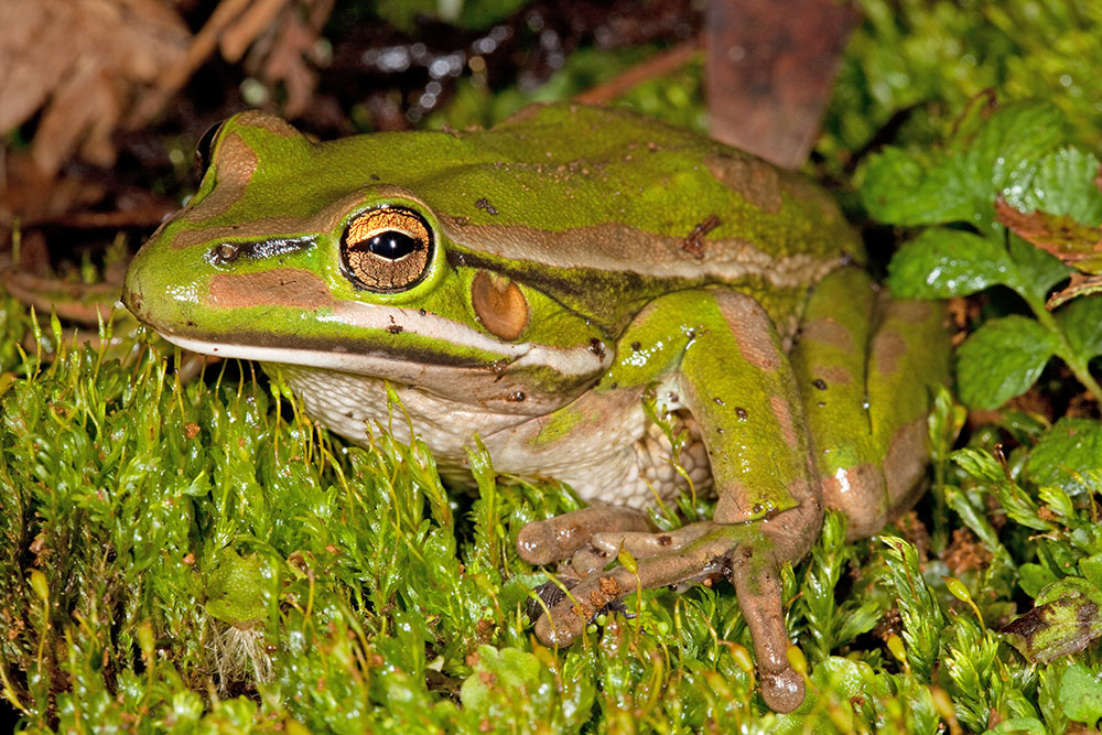 Litoria aurea, green frog, green and gold bell frog, captive, New Zealand