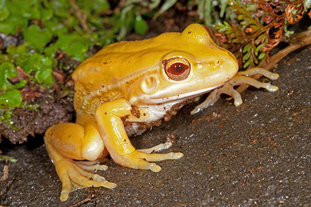 Litoria aurea, xanthistic green and gold bell frog, captive, New Zealand
