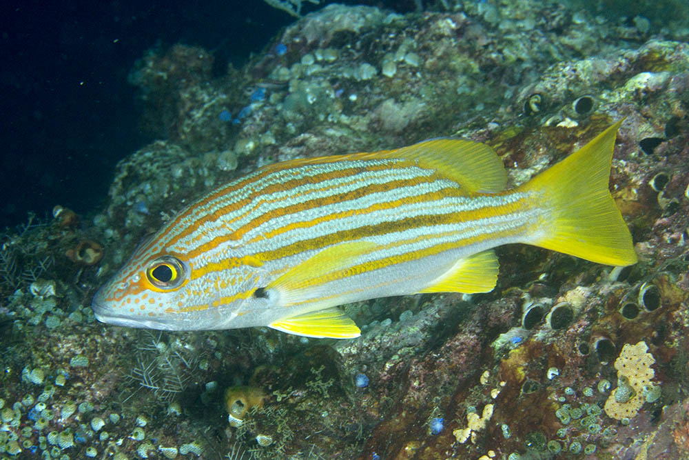 Photos of snappers family lutjanidae for Fish in spanish