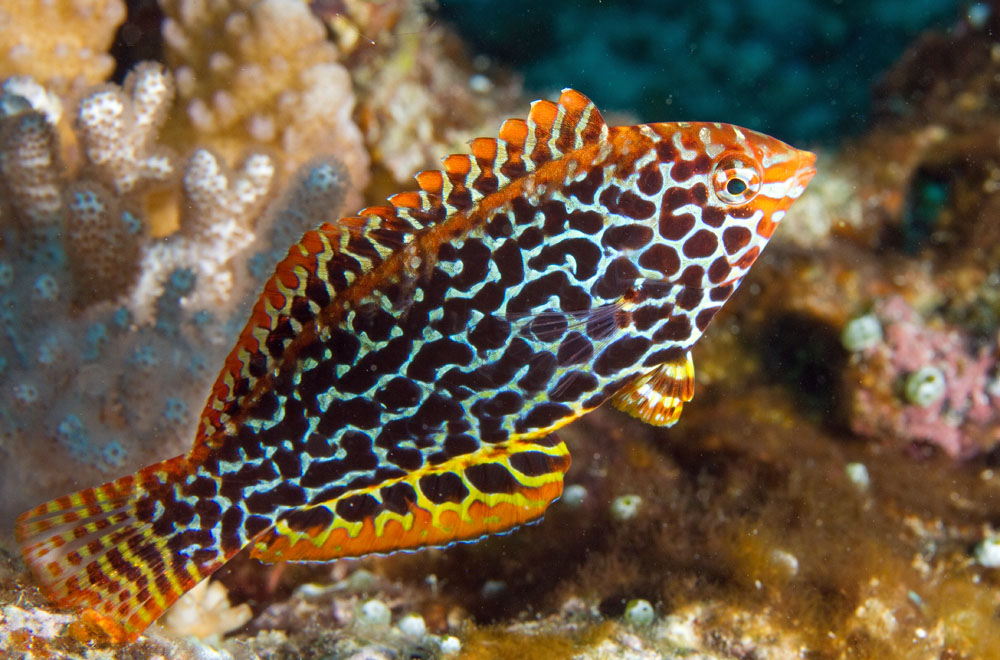 Photographs of wrasses and parrotfishes (family Labridae) - photo#27