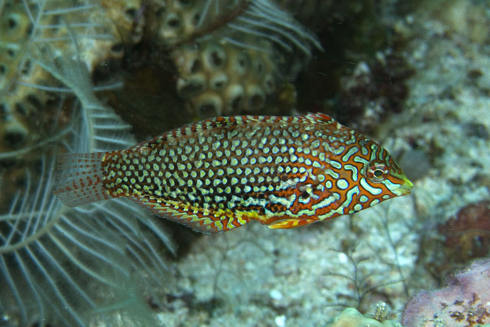 Photographs of wrasses and parrotfishes (family Labridae) - photo#37