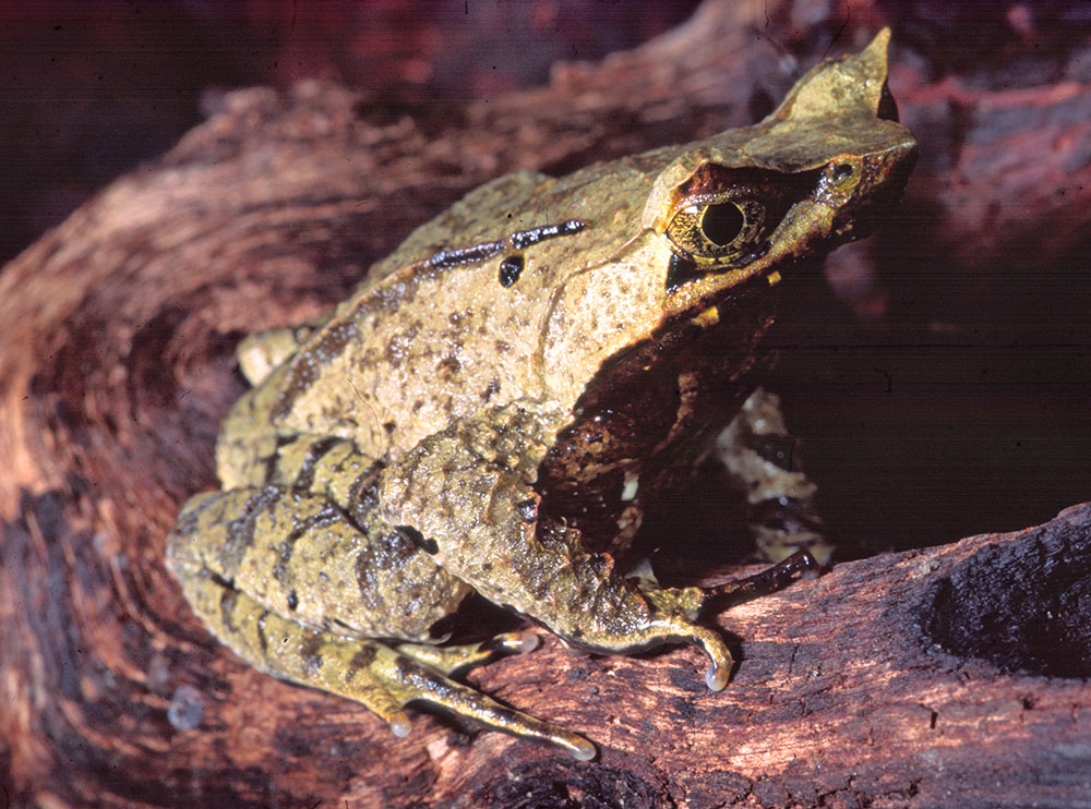 Megophrys nasuta, Asian horned frog whole animal
