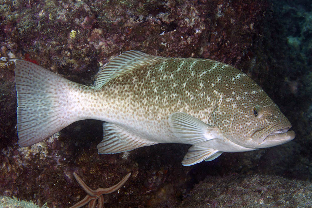 Mycteroperca rosacea Leopard grouper Sea of Cortez