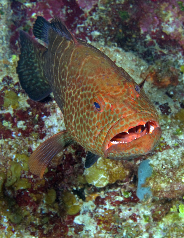 Mycteroperca tigris, Tiger grouper