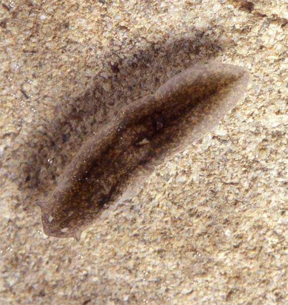 Photos Of Flatworms Phylum Platyhelminthes