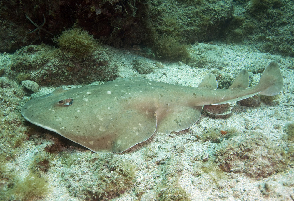 Photo of giant electric ray for Sea ray fish