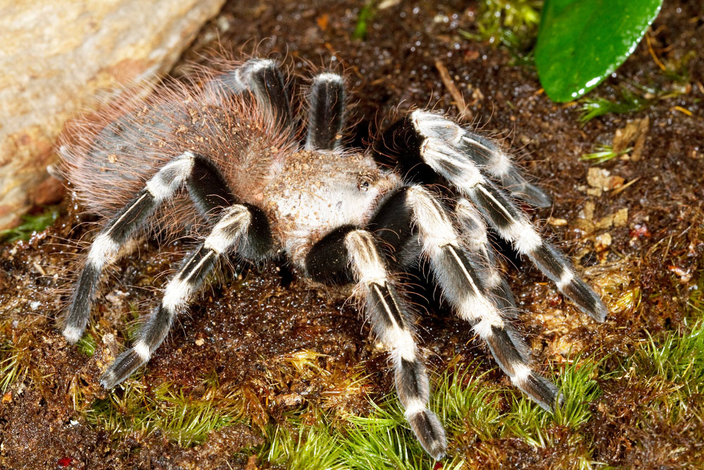 White-striped birdeater tarantula