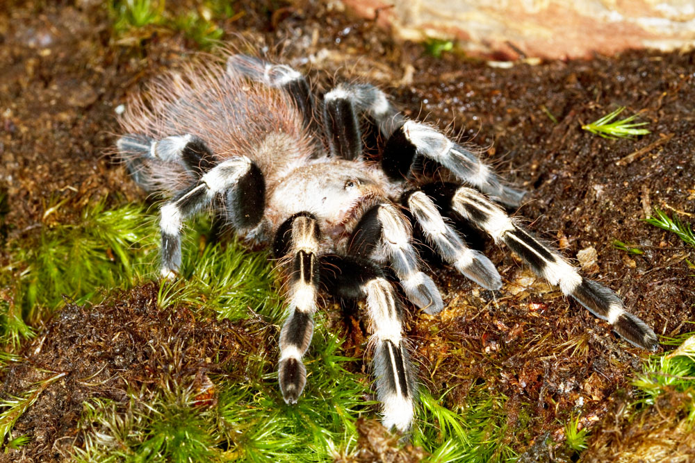 white-striped bird eater tarantula