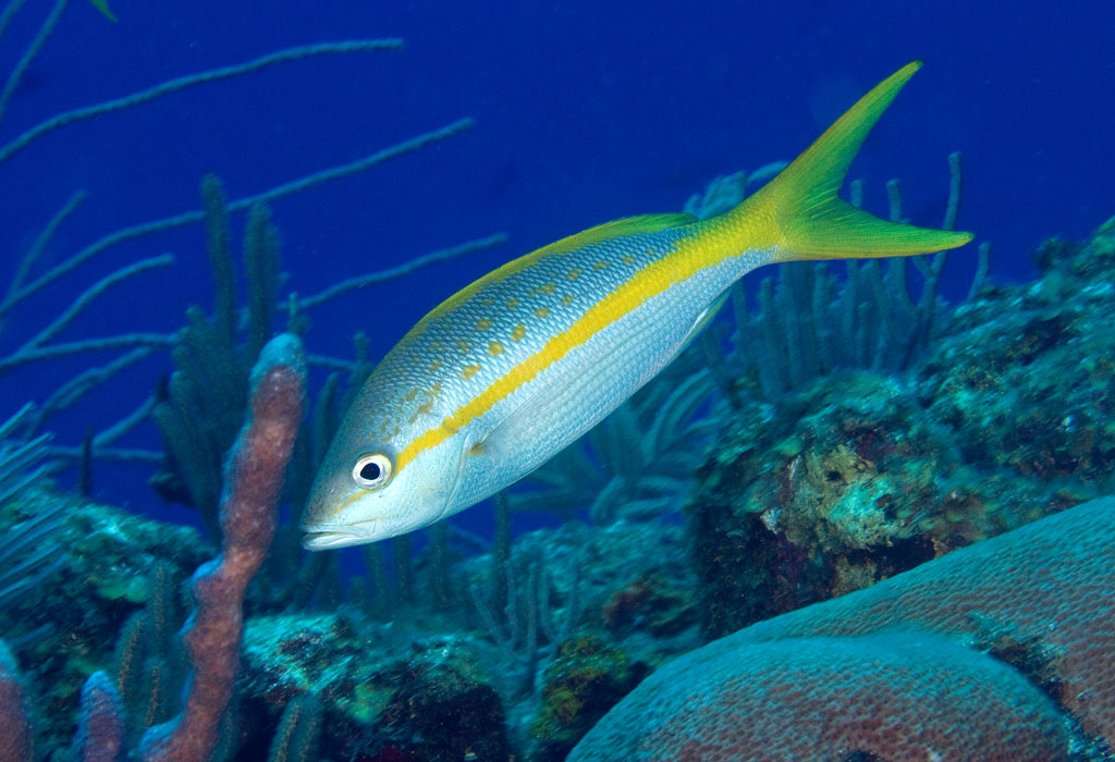 Photos of snappers family lutjanidae for Yellow tail fish