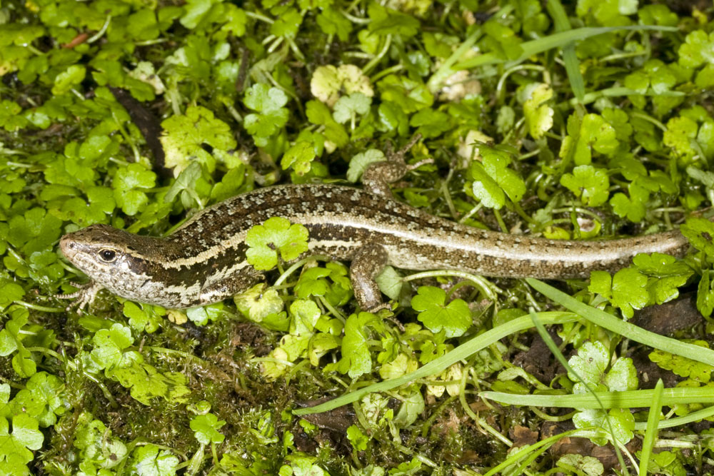 small-scaled skink New Zealand endemic