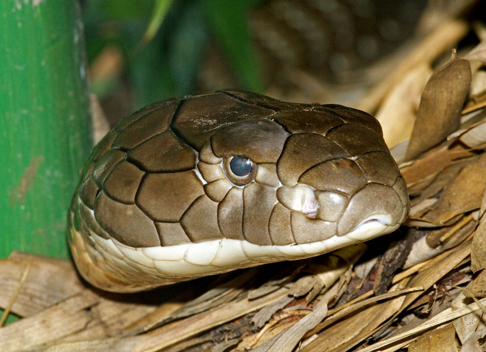 Ophiophagus hannah King cobra head shot captive FWZ