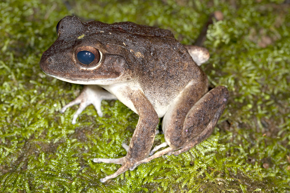 Fiji ground frog