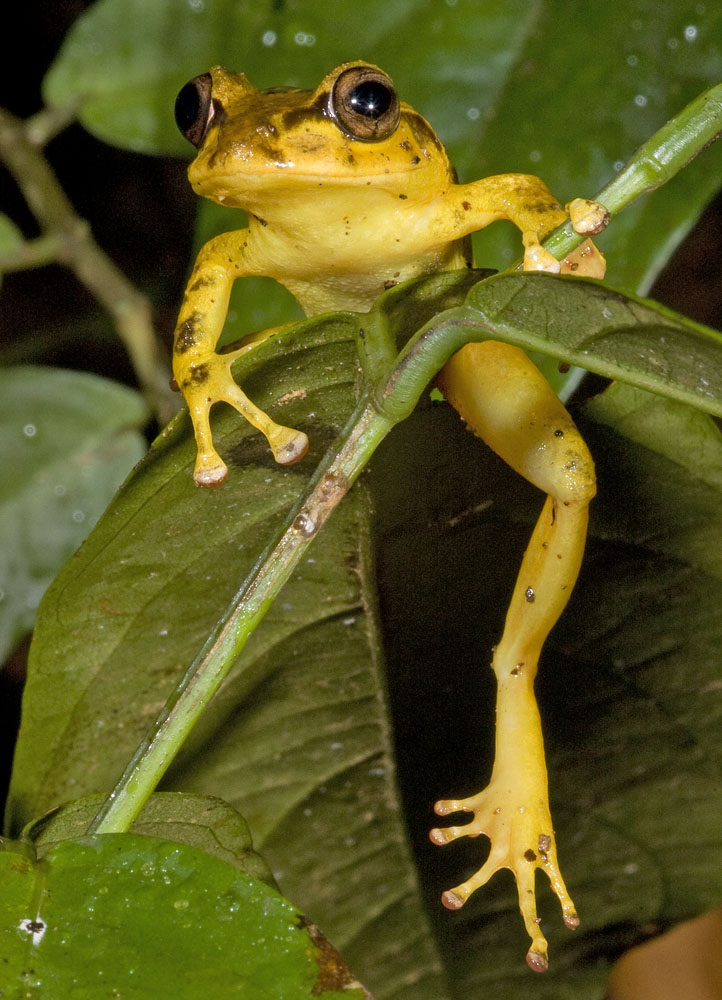 Vertical yellow fijian tree frog