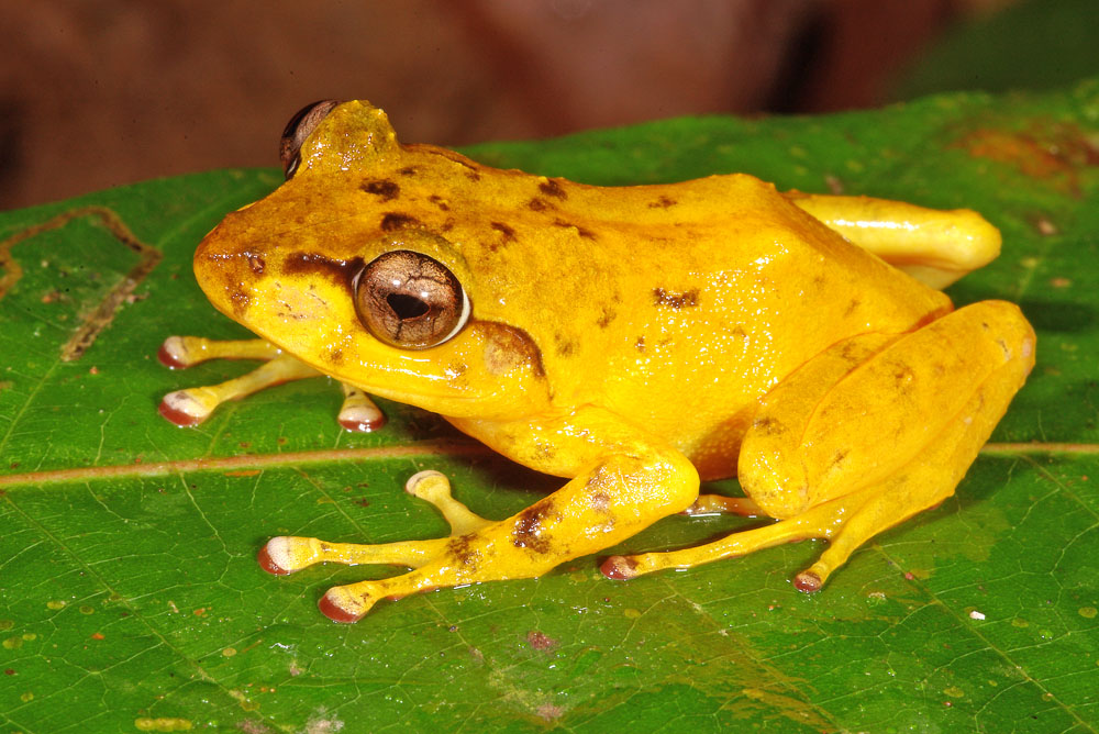 Yellow Fijian tree frog