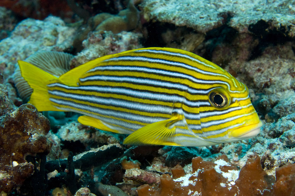 Photos of grunts and sweetlips haemulidae for Sweet lips fish