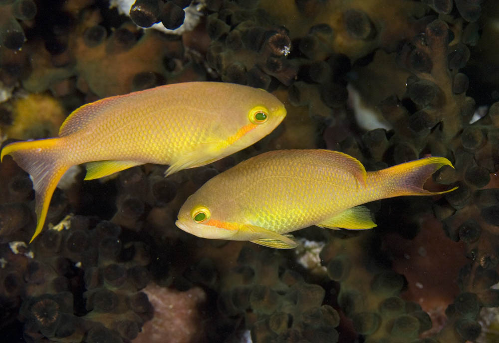 Pseudanthias huchti Threadfin anthias females, Raja Ampat, West Papua