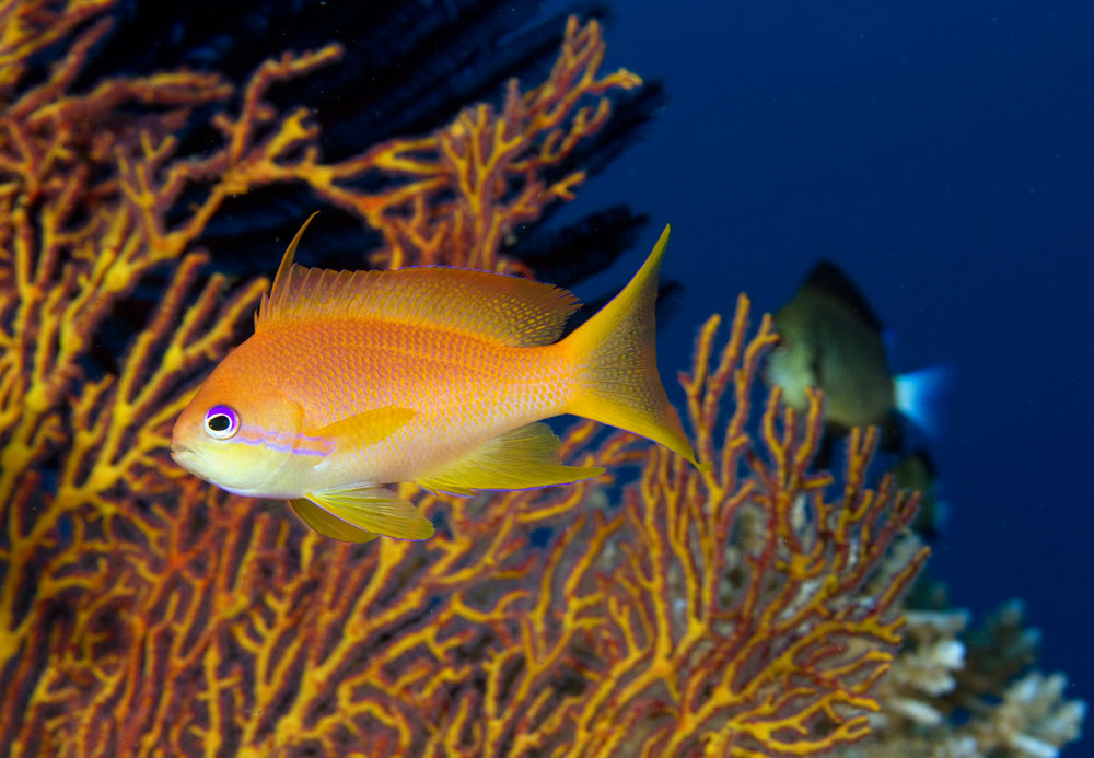 Scalefin anthias female
