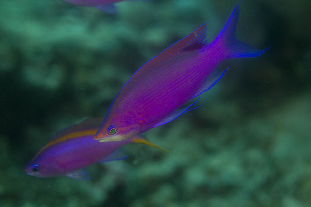 Pseudanthias tuka Purple anthias Kri Eco Raja Ampat