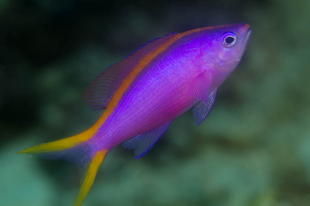 Pseudanthias tuka Purple queen female Kri Eco Raja Ampat