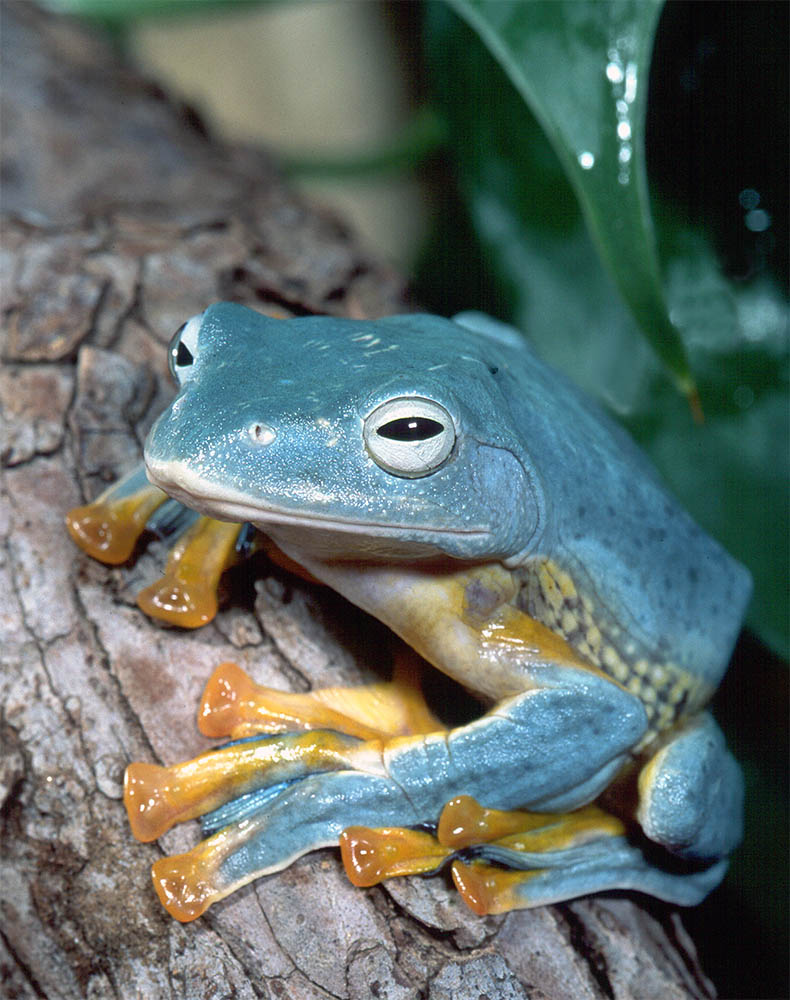Photographs of moss frogs - Family Rhacophoridae