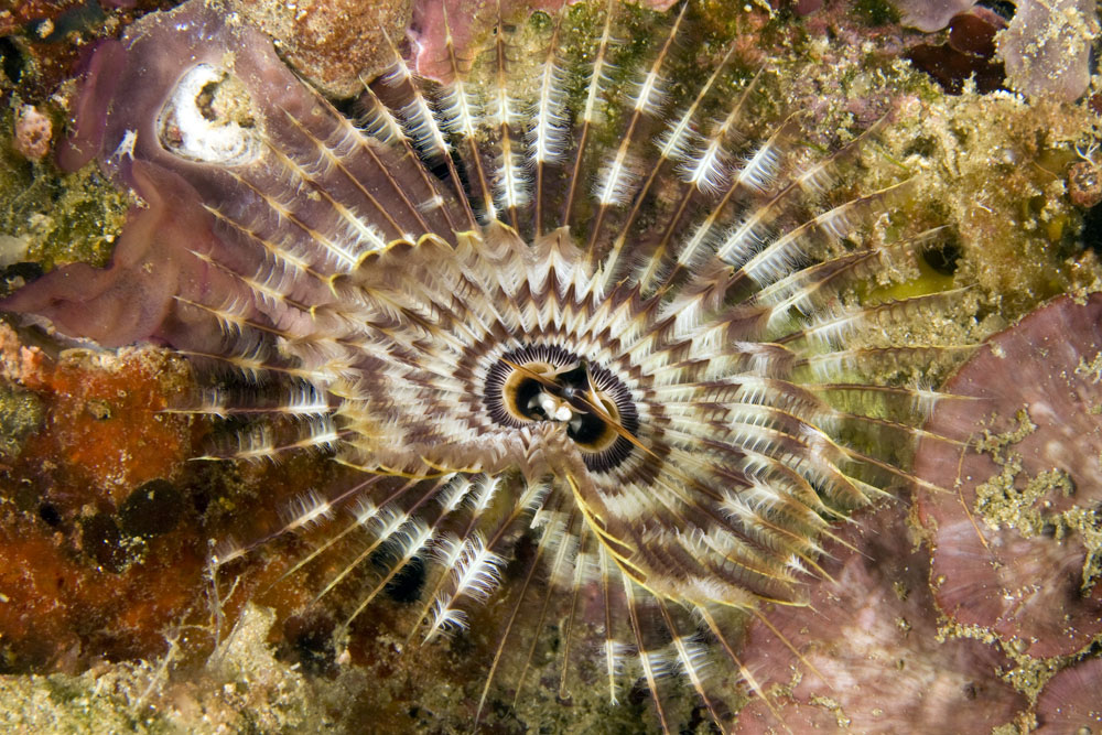 Sabellastarte indica, featherduster worm