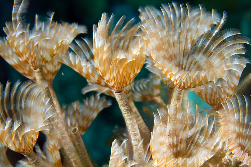 Sabellid featherduster worm
