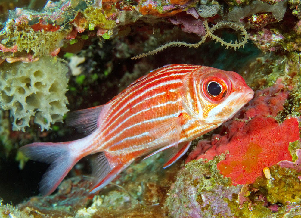 Squirrelfish images galleries with a for Big eye squirrel fish