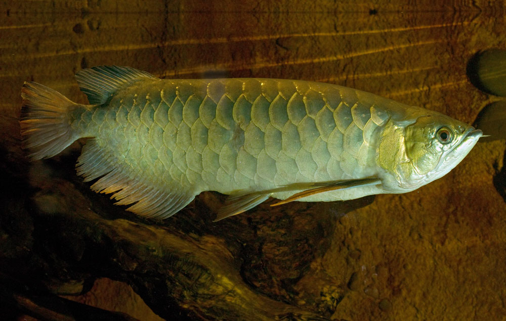 Asian bony tongue for Cute names for fish