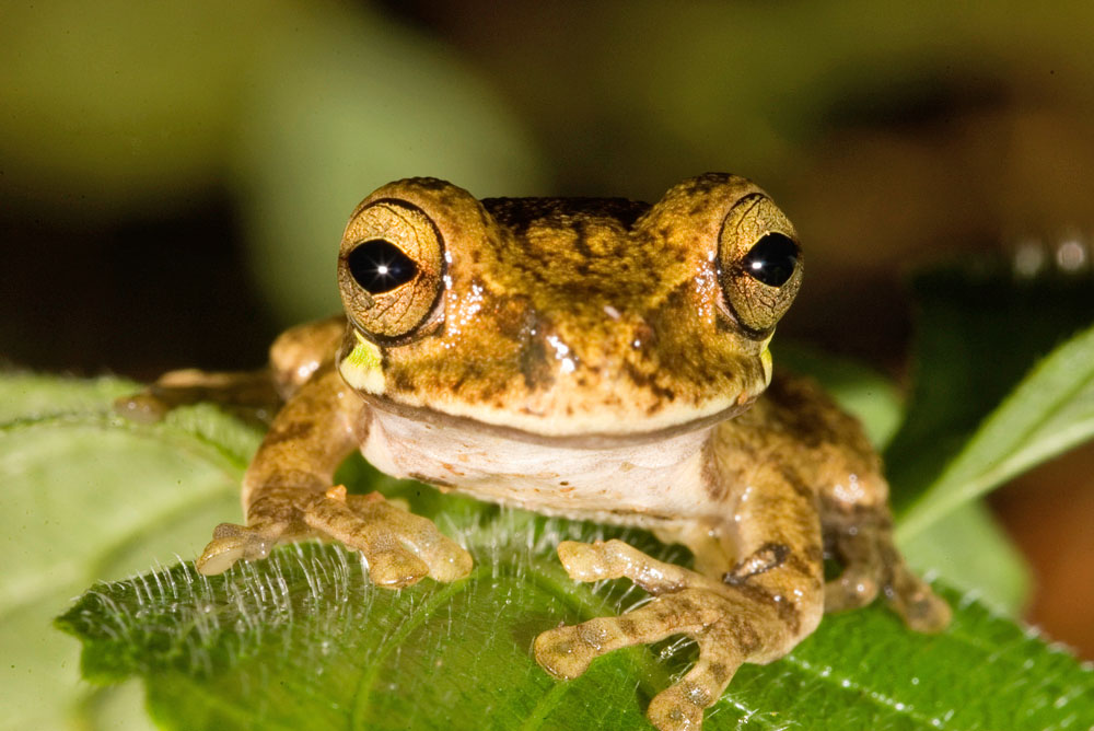 Smilisca baudinii, Mexican tree frog
