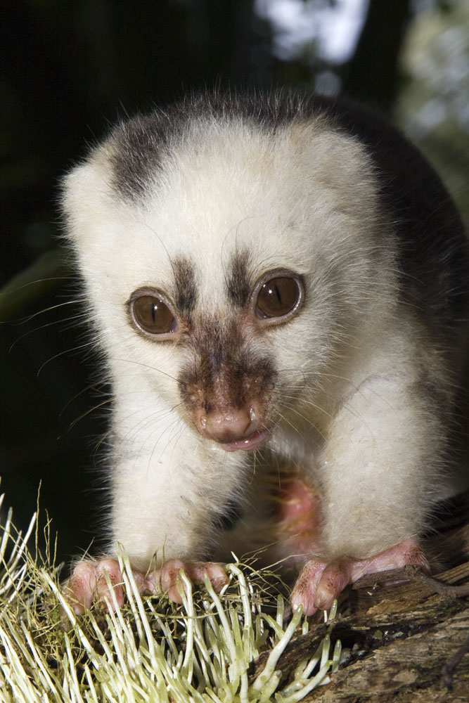Nature- musings and oddities — Baby cuscus! Need this in my life