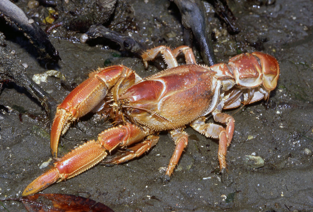 Photos Of Mud Lobsters Thalassinidae