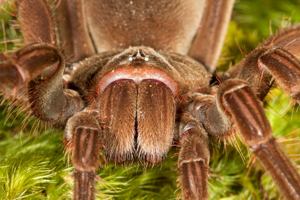 Theraphosa blondi, Goliath birdeating spider, captive