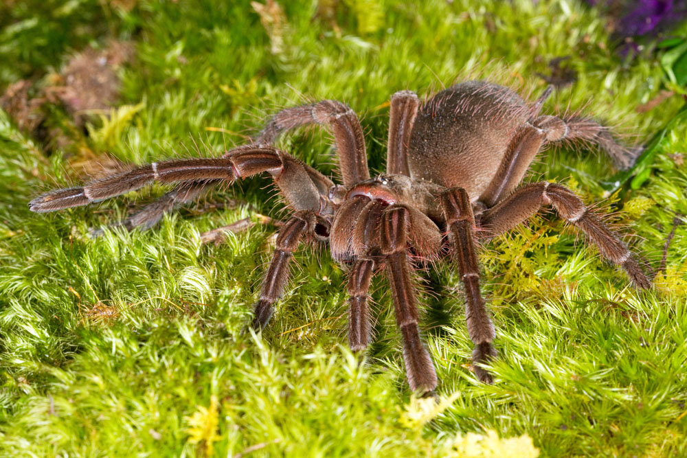 http://www.ryanphotographic.com/images/JPEGS/Theraphosa%20blondi,%20Goliath%20birdeating%20spider,%20captive-0369%20low%20res.jpg