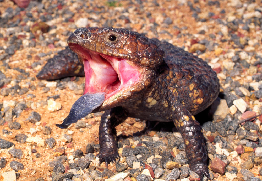 shingleback lizard displaying tongue