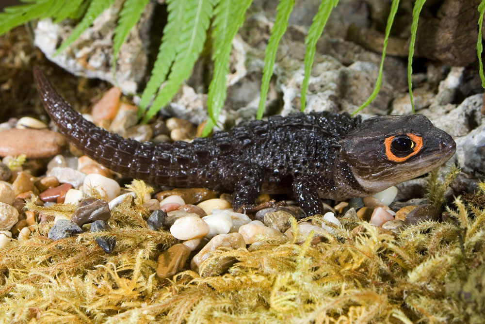 crocodile skink lateral