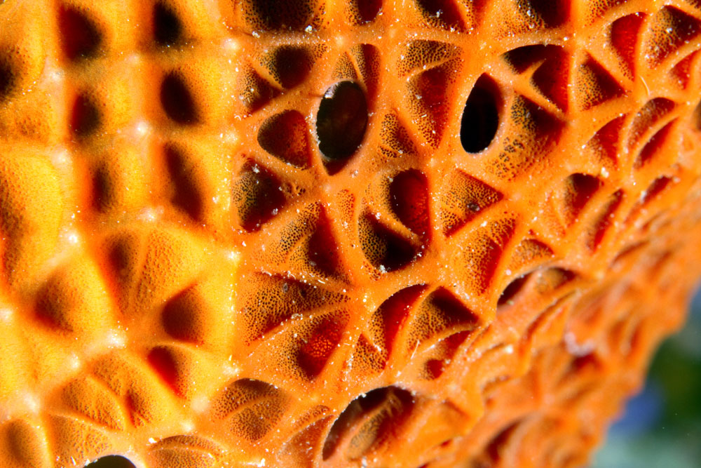 Detail, orange sponge, Taveuni, Fiji