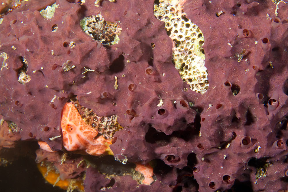 Encrusting Sponge Photos of sponges