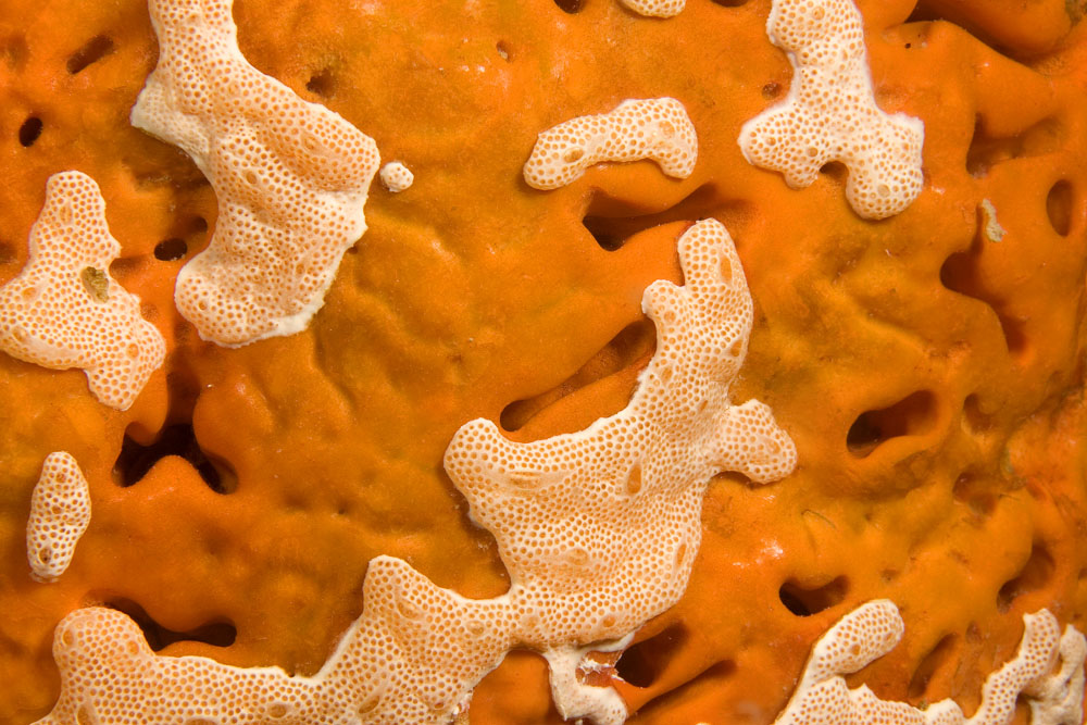 Orange sponge being overgrown by ascidian