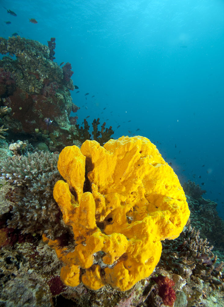 Yellow sponge against blue water, Rainbow Reef, Taveuni