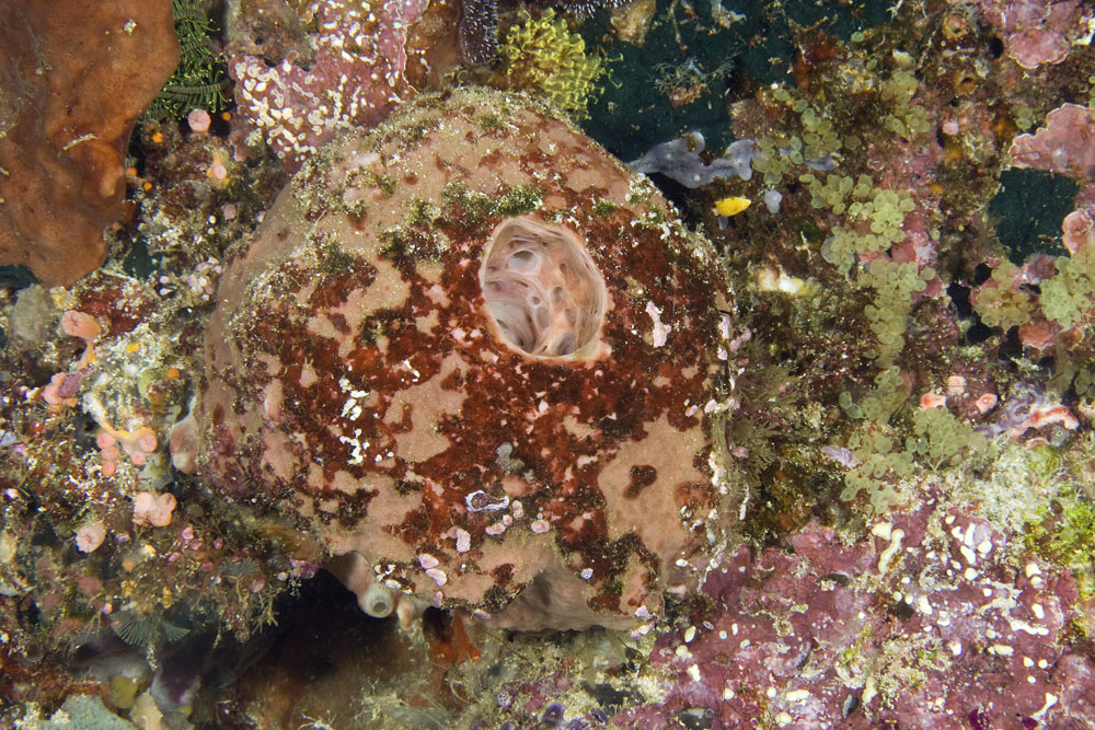 Unknown sponge, Raja Ampat, West Papua