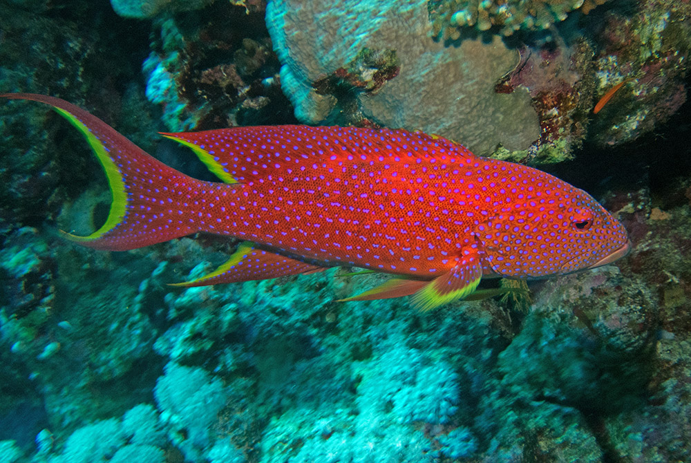 Variola louti Yellow-edged lyretail Red Sea