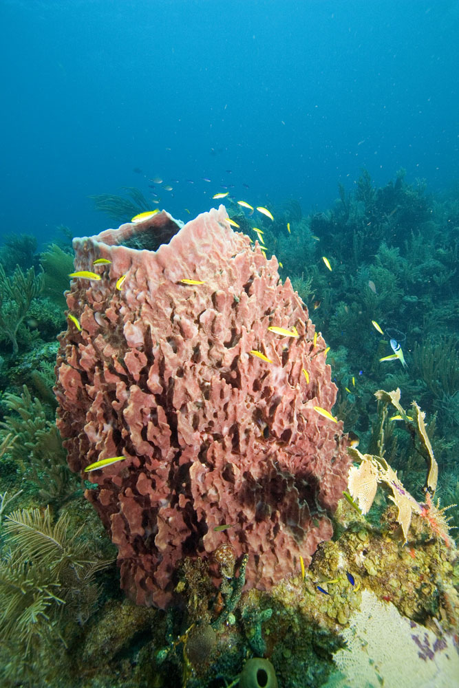 Xestospongia muta Giant barrel sponge