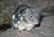 thumbnail of captiove spotted quoll