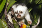 spotted cuscus thumbnail