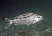 Crescent banded grunter thumb